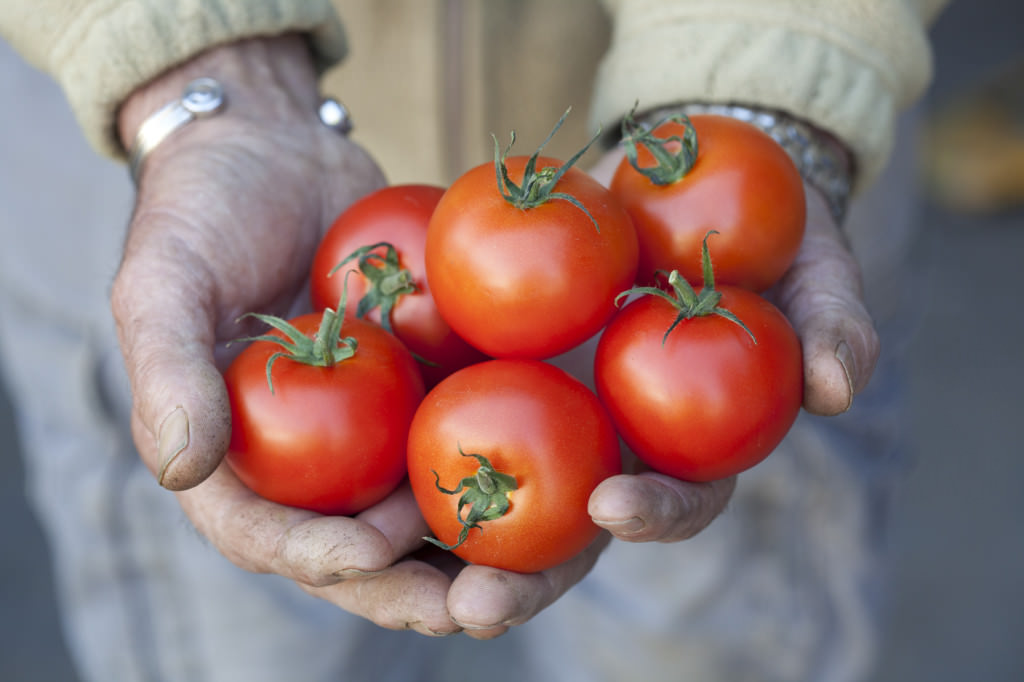 Ripe Tomatoes/Guy and Wright